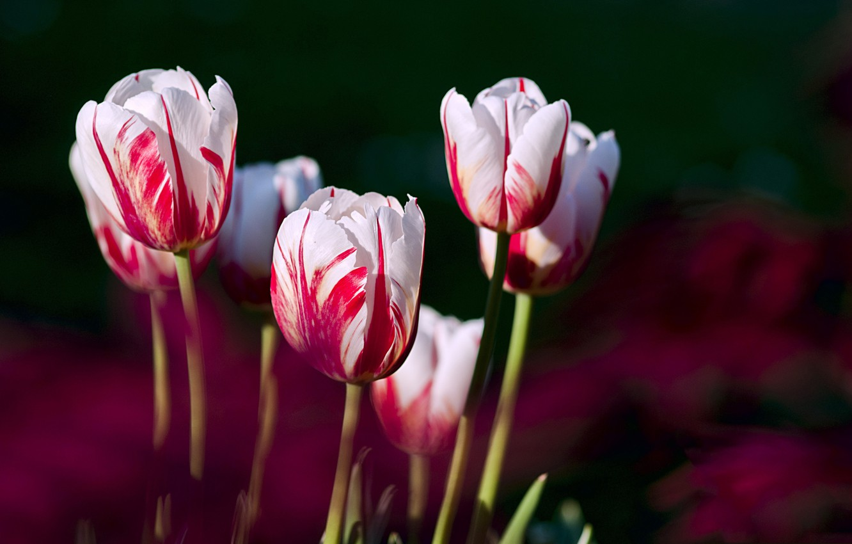 Фото обои лепестки, сад, луг, тюльпаны