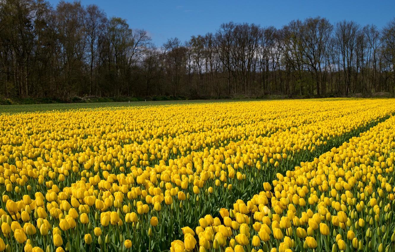 Фото обои поле, деревья, пейзаж, цветы, Природа