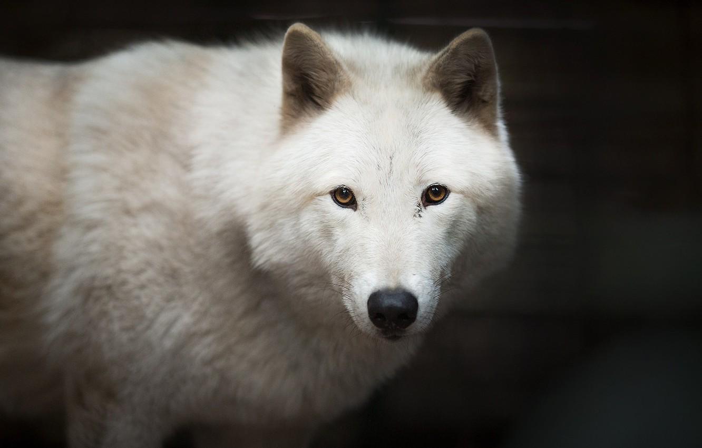 белый волк фото и картинки барах представлен широкий