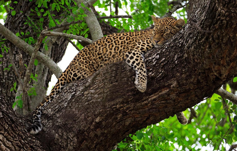 Обои на дереве, отдых, дикая кошка, леопард, африка, Хищник, лежит. Животные foto 7