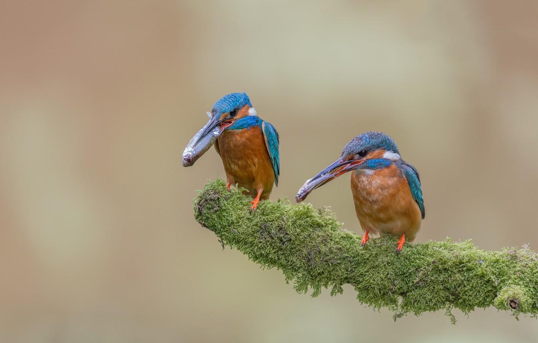 Фото обои рыбки, птицы, мох, ветка, улов, Зимородоки