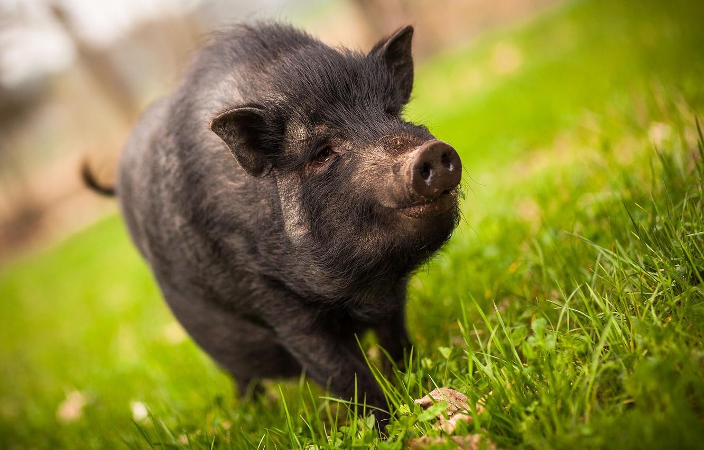 сложи свинья травяная фото это