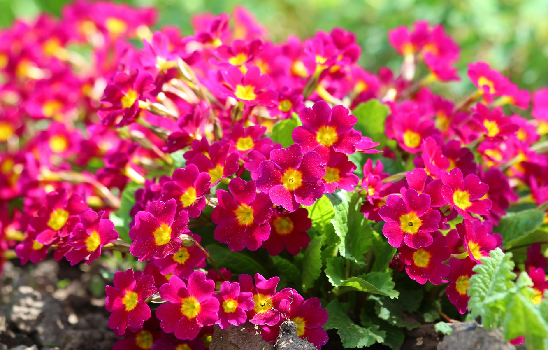 Фото обои цветы, природа, красота, весна, цветение, дача, примула