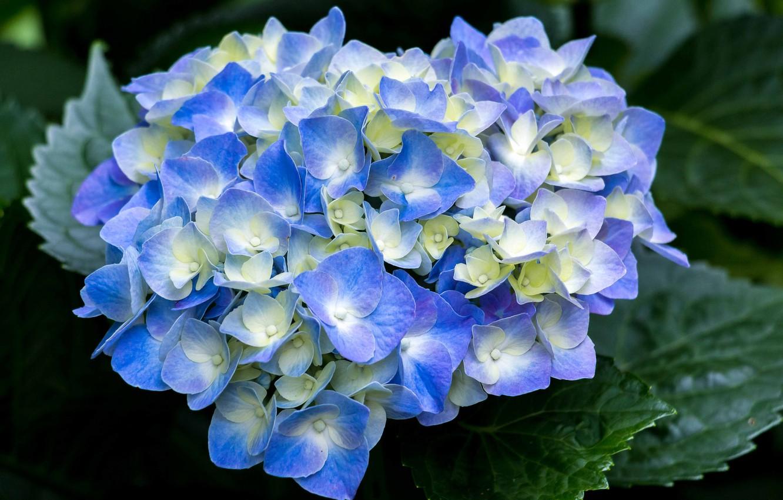 Фото обои Цветы, цветение, кустарник, Гортензия