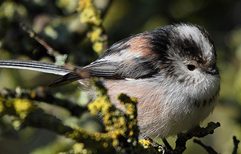 Фото обои птица, ветка, клюв, длиннохвостая синица