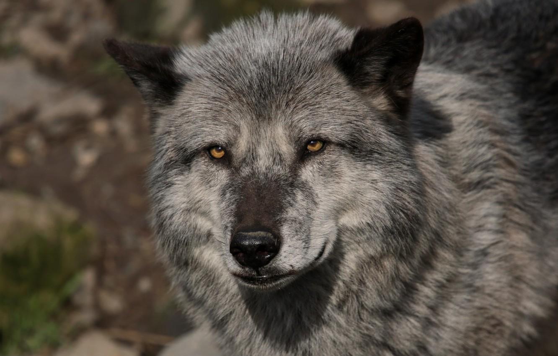 необходимости морда волка фото красивое постоянный
