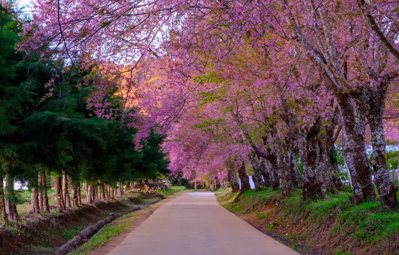 Фото обои дорога, деревья, ветки, парк, весна, сакура, цветение, nature, pink, blossom, park, tree, sakura, cherry, spring, ...