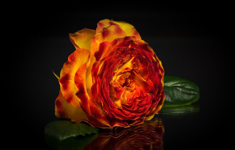 Фото обои отражение, роза, лепестки