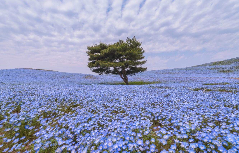 Фото обои поле, цветы, дерево, немофила