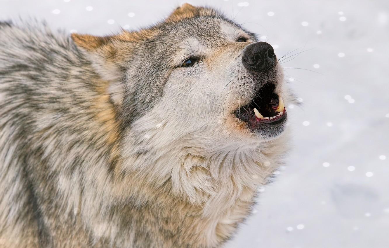 этот зачем фото волка той, которой привыкли