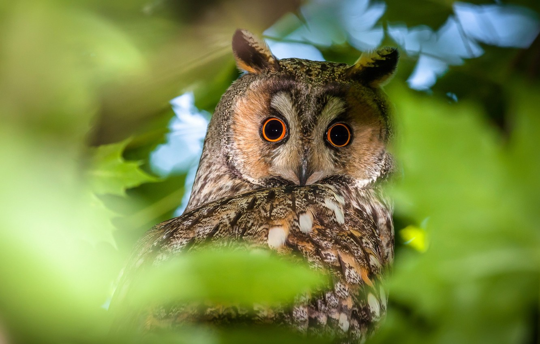 Фото обои взгляд, природа, сова, птица, листва, ушастая сова, длинноухая сова