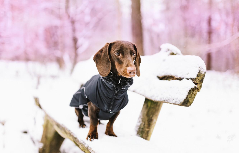 Фото обои снег, собака, скамья