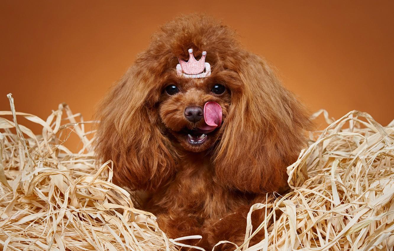 Фото обои язык, портрет, корона, принцесса, Пудель, собачонка