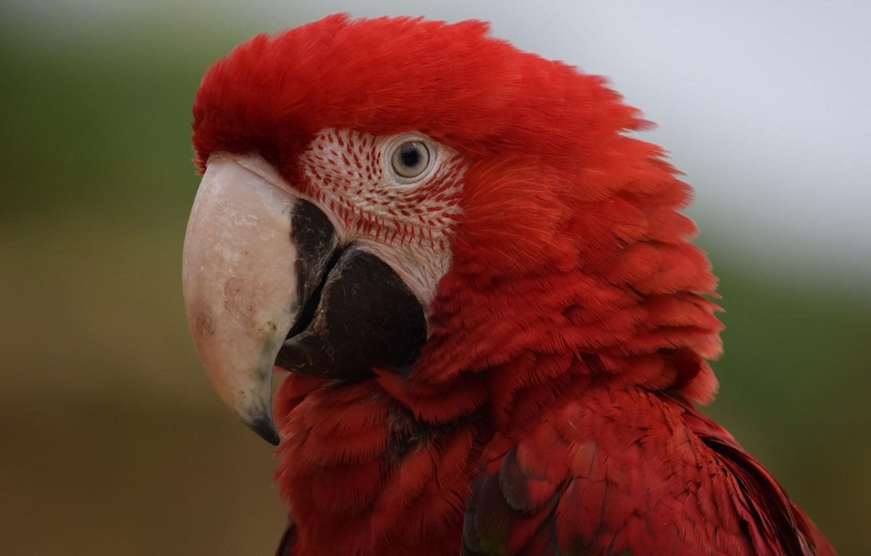 картинки попугай красный время