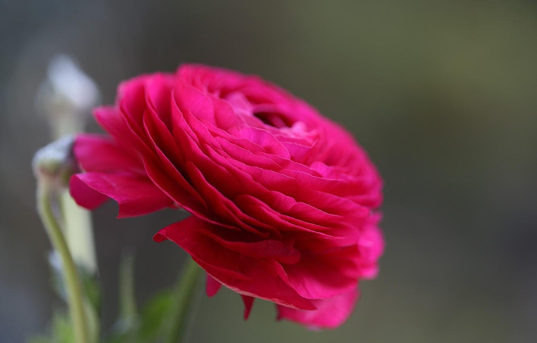 Фото обои цветок, макро, бутон, Персидский Баттеркуп