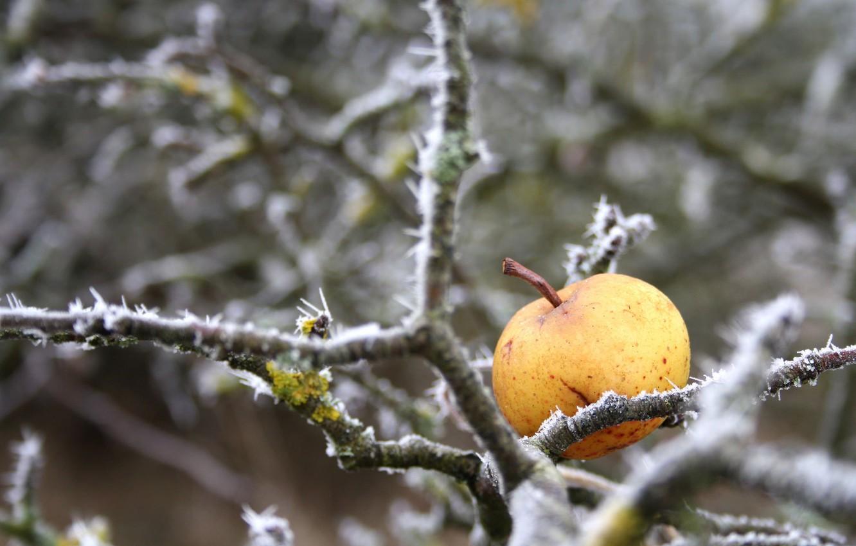 Фото обои зима, природа, яблоко
