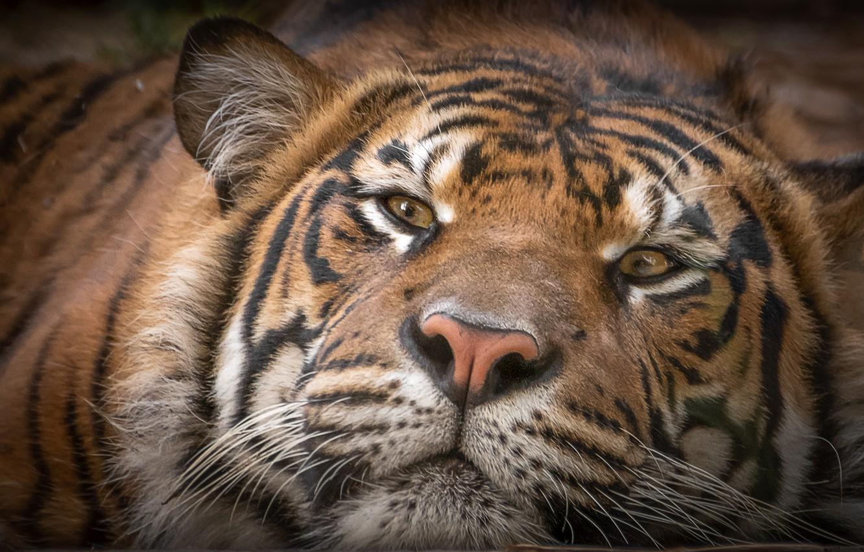 Фото обои морда, тигр, довольный