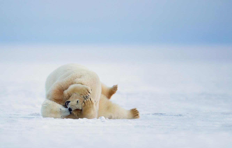 Фото обои зима, природа, белые медведи