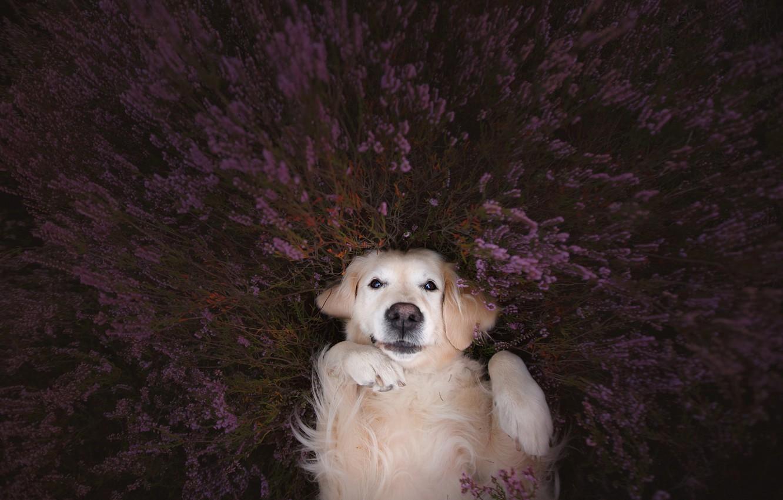 Фото обои взгляд, морда, настроение, собака, лапы, лаванда, Голден ретривер, Золотистый ретривер