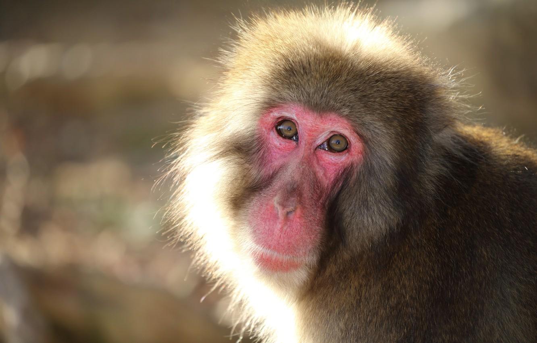 Фото обои взгляд, природа, фон, Snow monkey