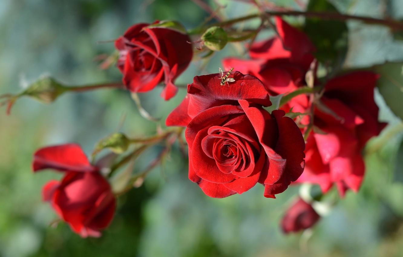 Фото обои макро, цветы, муха, розы, ветка, бутоны