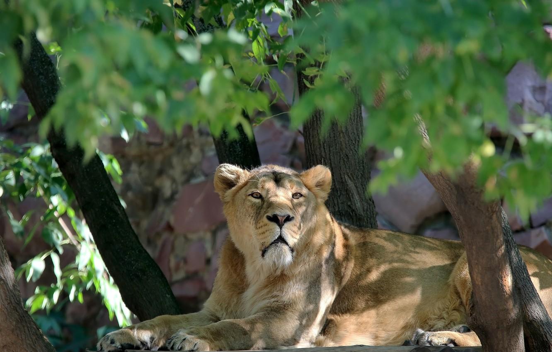 Фото обои природа, заросли, листва, портрет, сюжет, львы, львица, солнечно, зоопарк, кошачьи, фауна, зарисовка, животный мир