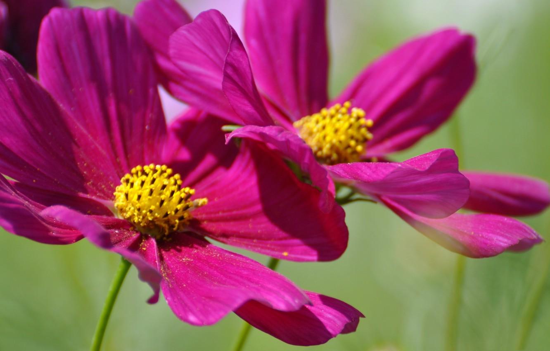 Фото обои лето, цветы, лепестки, космея