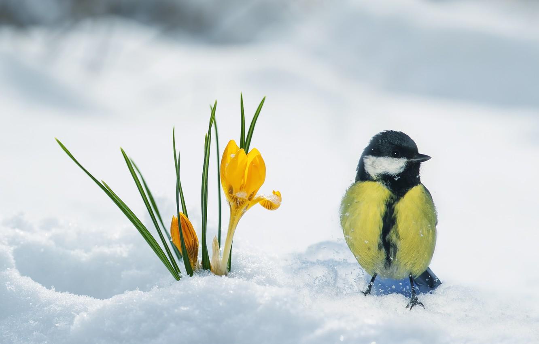 Фото обои снег, птица, весна, крокус, синица
