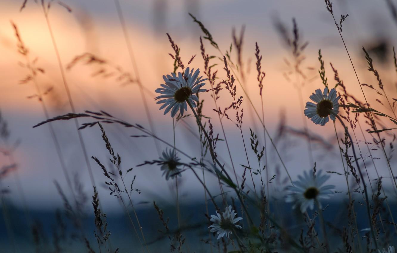 Фото обои трава, закат, цветы, ромашки