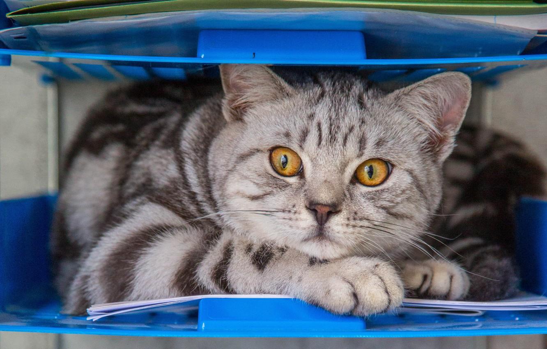 Фото обои глаза, кот, взгляд, желтые