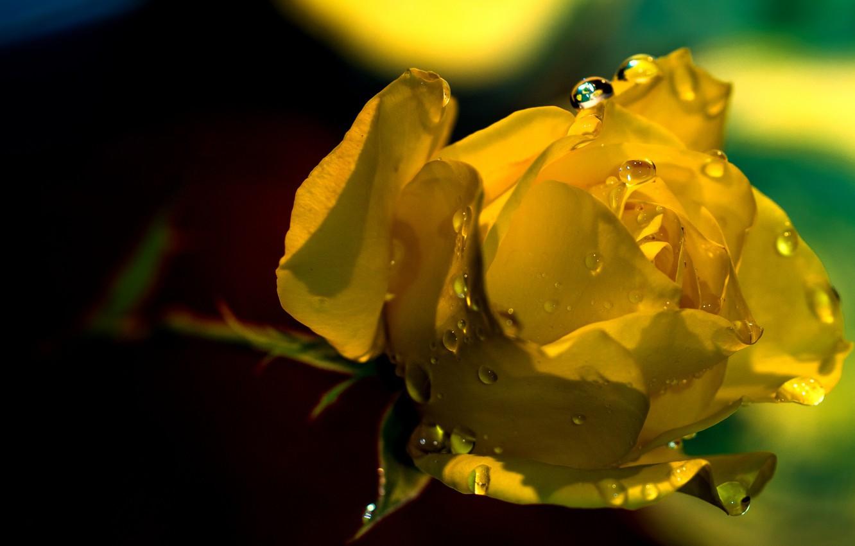 Обои бутон, цветок, Вода, свет, капли. Цветы foto 10