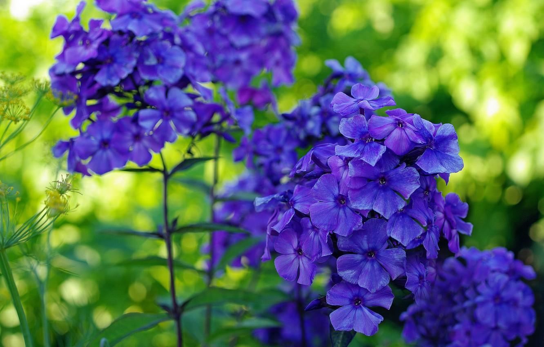 Фото обои лето, природа, красота, растения, синий цвет, множество, флора, флоксы, многолетники, ультрамариновый цвет