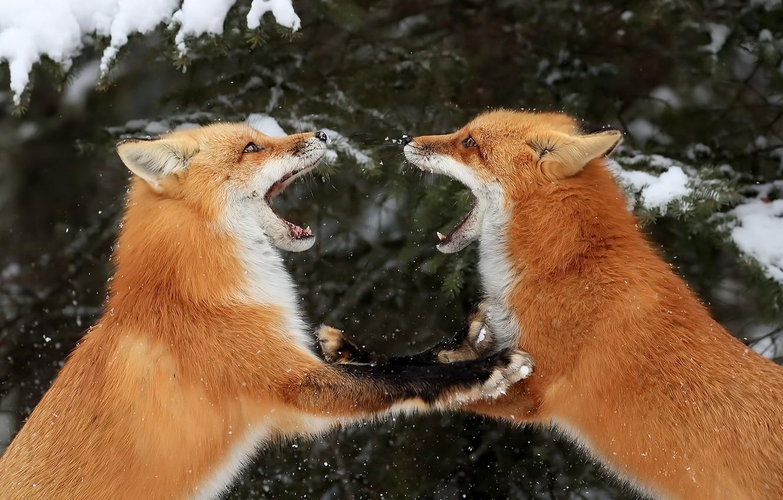 Картинки лисы целуются