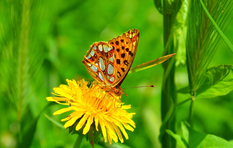 Фото обои одуванчик, Макро, Бабочка, Macro, Butterfly, Желтый цветок, Yellow flower