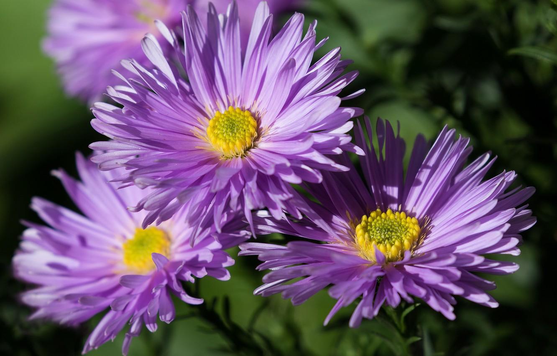 Фото обои цветы, лепестки, астры