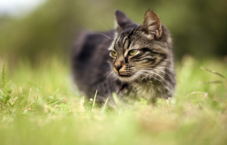 Фото обои кошка, трава, глаза, кот, взгляд, морда, природа, серый, фон, портрет, луг, зеленые, полосатый, размытый