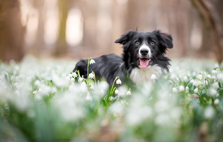 Фото обои лес, язык, морда, цветы, парк, фон, поляна, черно-белая, собака, весна, подснежники, боке, бордер-колли