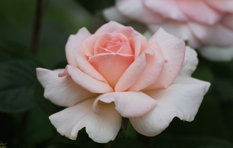 Фото обои роза, лепестки, бутон