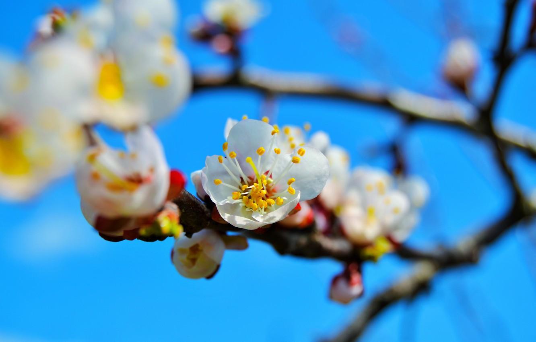 Фото обои цветы, дерево, ветка, весна, абрикос, цветение