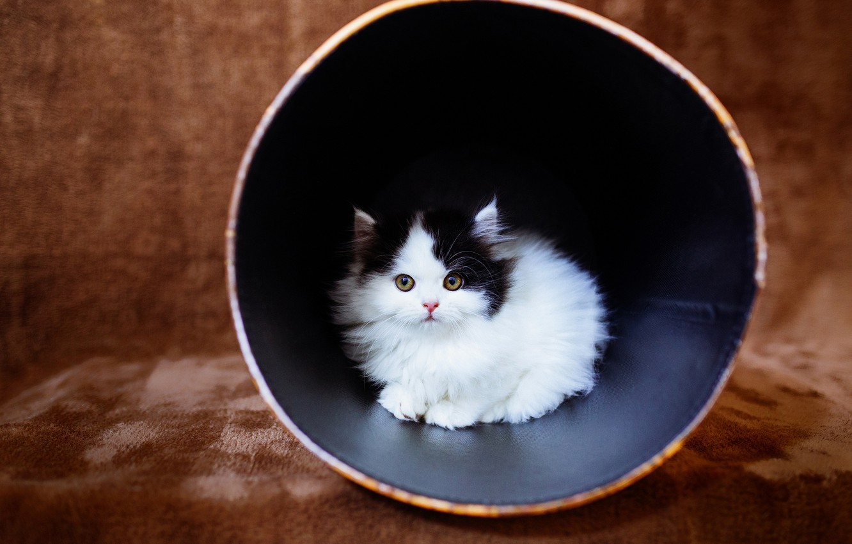 Обои Маленький, Кошка, стакан, желтоглазый, изнутри, пушистый, мордочка, ткань, плед, чёрный, котёнок, коричневый, малыш, черно-белый, котёнок. Кошки foto 6
