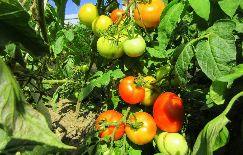 Картинки помидоров растение для рабочего стола
