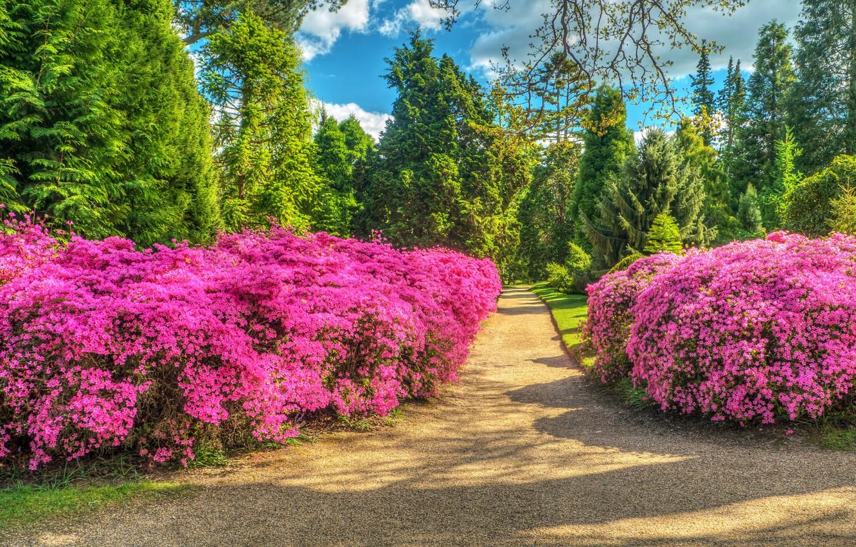 Обои рододедрон, кусты, парки. Цветы foto 11