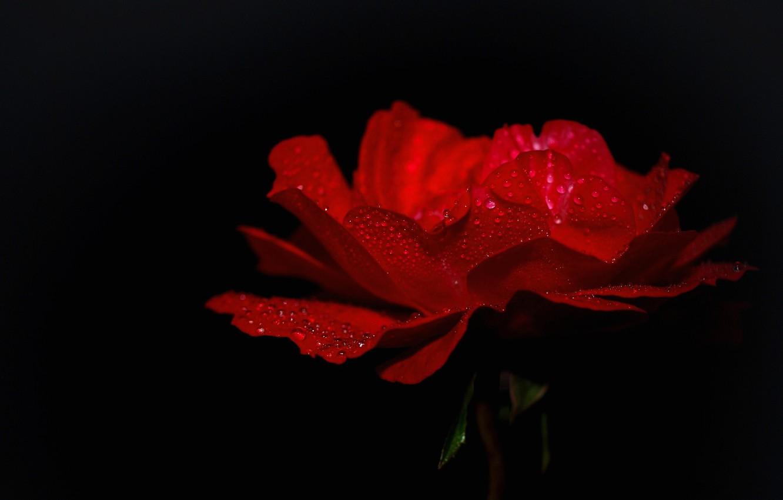 Фото обои капли, роса, роза, лепестки