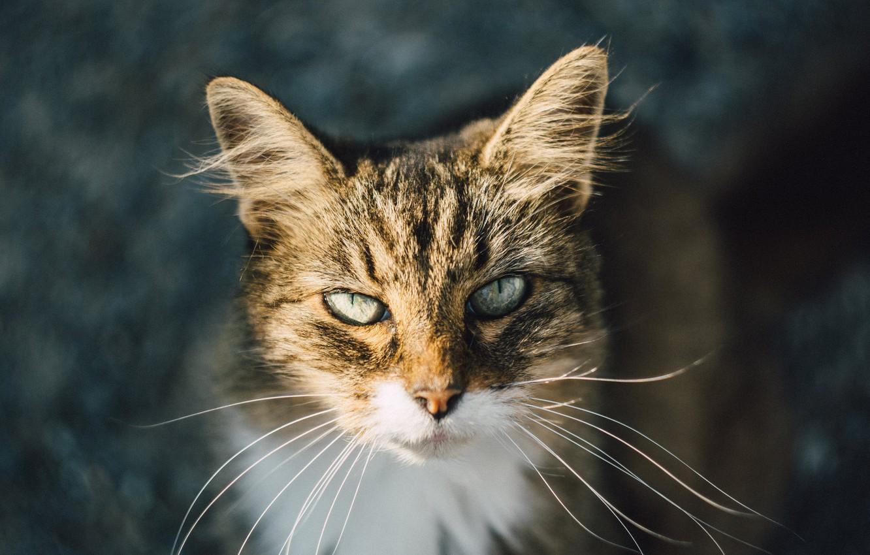 Фото обои глаза, кот, шерсть, смотрит