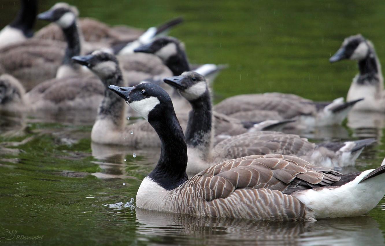 Фото обои природа, птица, стая, много, дикие гуси
