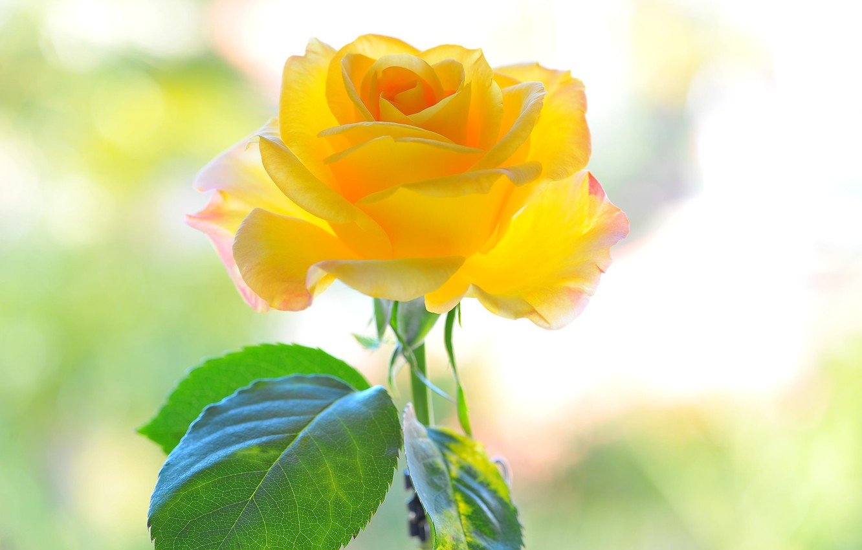 Фото обои цветок, желтый, фон, роза, лепестки