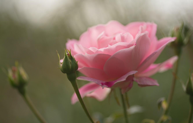 Фото обои цветок, макро, розовая, роза, бутон