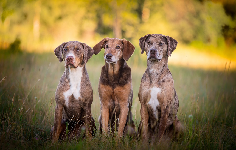 Фото обои собаки, трио, друзья