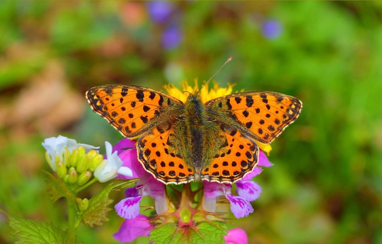 Фото обои Макро, Бабочка, Боке, Bokeh, Macro, Butterfly