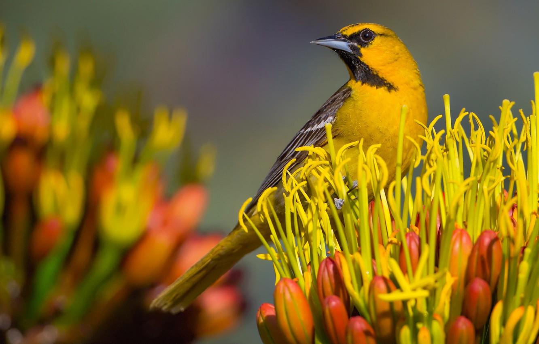 Фото обои цветок, птица, клюв, цветной трупиал Баллока
